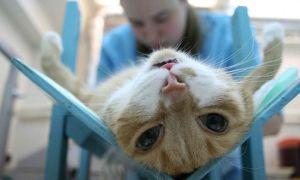 Стерилизация кошек – методы, плюсы и минусы, уход после операции, цена