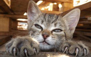 Как подстричь когти коту или кошке в домашних условиях